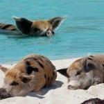 Conheça a curiosa Pig Island, ilha de porcos no Caribe