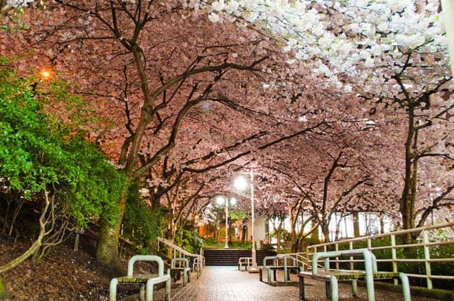 Festival das Cerejeiras acontece entre março e abril em Vancouver