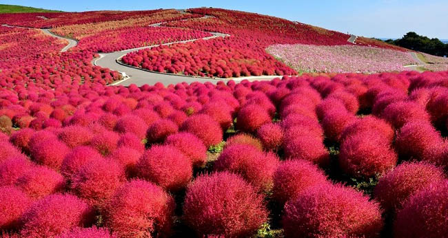 Hitachi Seaside Park2