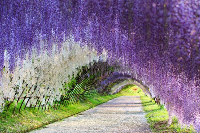 Wisteria-Flower-Tunnel-Japan