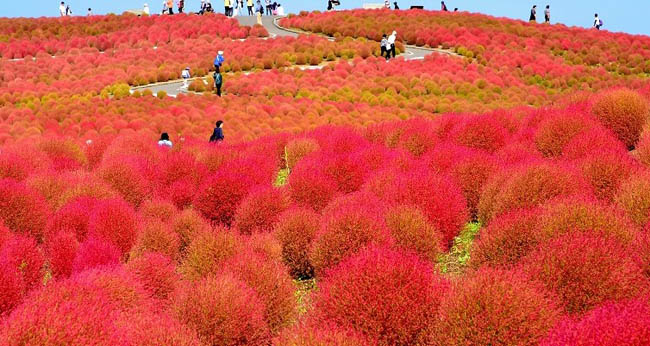 hitachi-seaside-park14