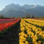 Campos de tulipas encantam o público em Trevelin, na Argentina