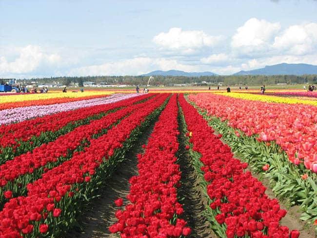 festival-de-tulipas-eua