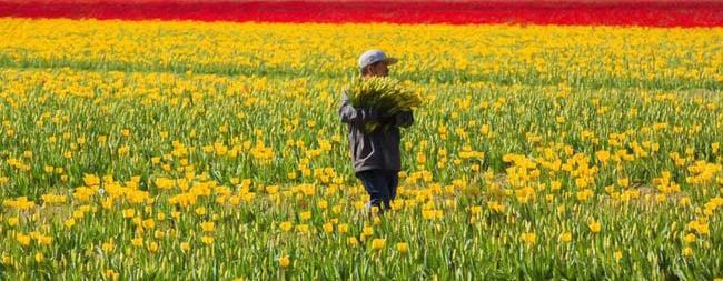 festival-de-tulipas-eua10