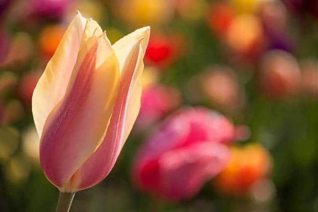 festival-de-tulipas-eua4