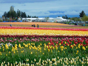 Festival Anual de Tulipas do Vale Skagit colore Seattle, no Estados Unidos