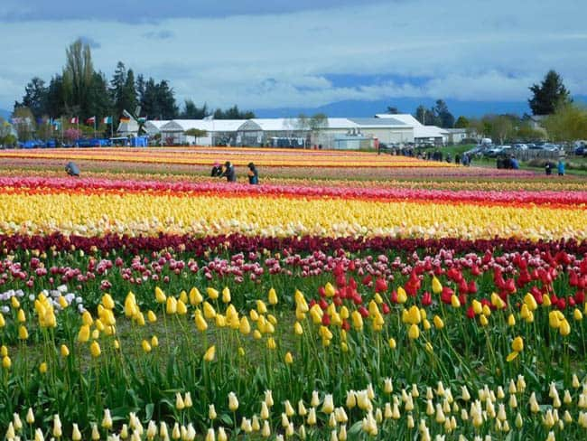 Festival Anual de Tulipas do Vale Skagit colore Seattle, no Estados Unidos