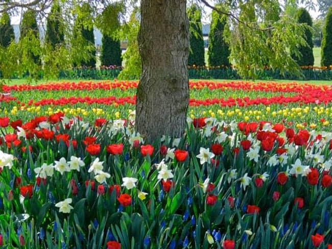 festival-de-tulipas-eua7