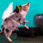 Aeroporto de San Francisco tem uma porquinha para aliviar o estresse dos viajantes