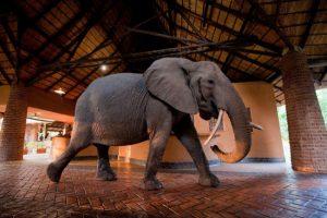 Antiga trilha de elefantes cruza as instalações do hotel Mfuwe Lodge, na África