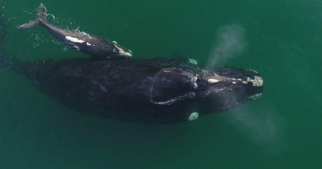 Encante-se com a temporada das baleias em Santa Catarina. Saiba onde encontrá-las