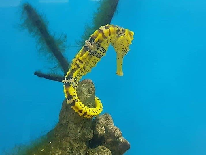 Projeto Hippocampus: uma oportunidade de saber mais sobre os cavalos-marinhos em Porto de Galinhas