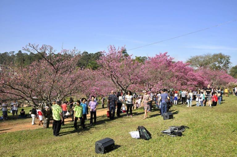 Encante-se com a beleza e delicadeza do Festival das Cerejeiras de São Roque-SP