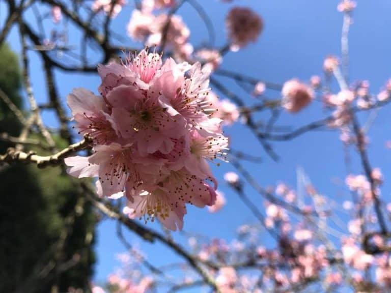Nesse final de semana tem Festa da Cerejeira no Parque do Carmo em Sampa!