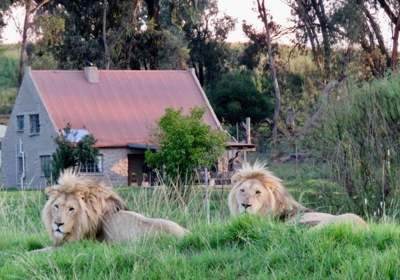 Lion House: a incrível casa para locação onde você dorme cercada por 77 leões