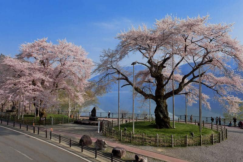Com 500 anos de existência, esta cerejeira é atração na cidade japonesa de Takayama