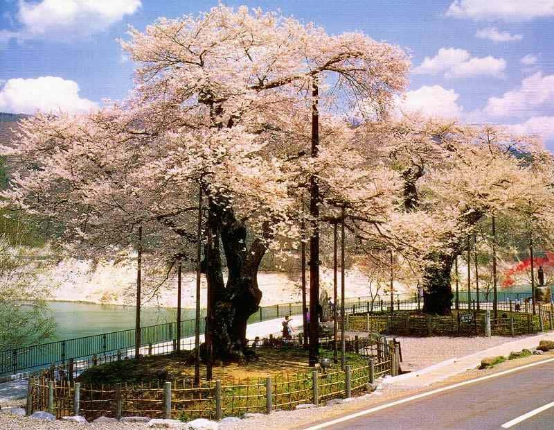 árvore no japão
