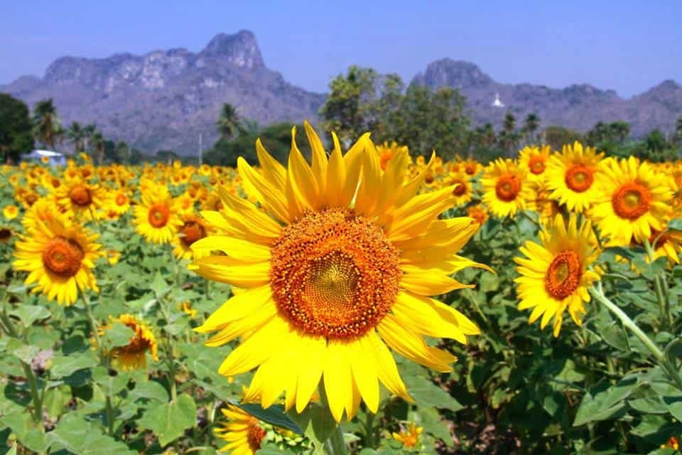 Descubra os floridos campos de girassóis na Tailândia