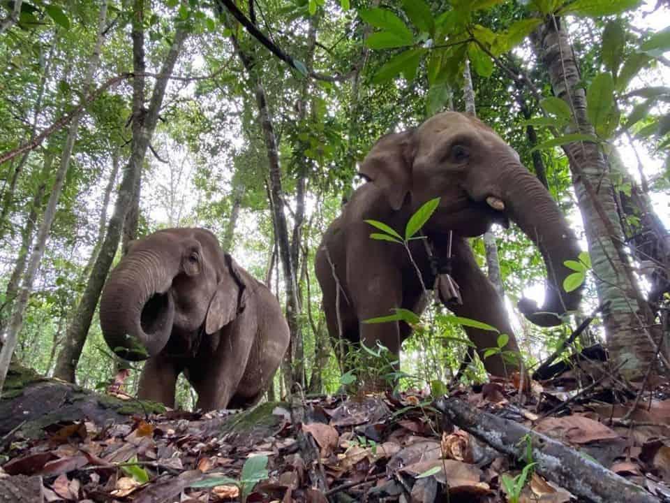 Elefantes da Tailândia retornam à natureza após 'perderem oemprego'
