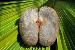 Você sabia? O coco de mer e a lenda do Jardim do Éden em Seychelles