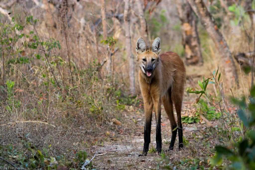 Símbolo da nota de R$ 200, lobo-guará pode ser visto em safári no Cerrado