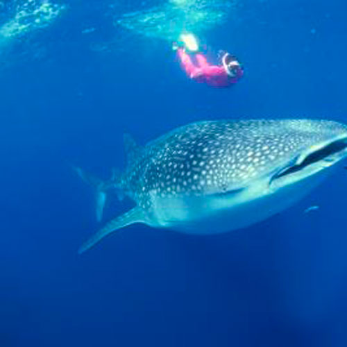 Snorkel com tubarão baleia